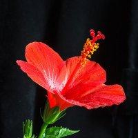Портрет розы :: Дмитрий Кузнецов