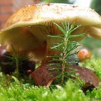 микро садик на пенечке или ёлочка под грибочком :: Natalia Mihailova