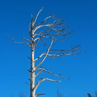У Белого моря. Деревья умирают стоя :: Владимир Шибинский