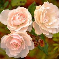 Розы. :: Геннадий Александрович