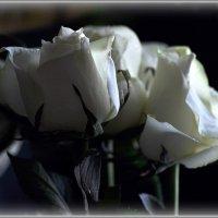 Белые розы :: Ольга Винницкая (Olenka)