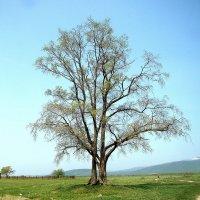 Мое любимое дерево :: Александр Ваюш