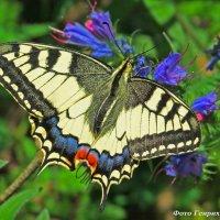 Бабочка Махаон (Papilio machaon L.) :: Генрих Сидоренко