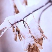 Американский клен в снегу :: Валерий Бочкарев