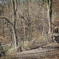 Кто сказал, что деревья умирают стоя? :: Владимир Бровко