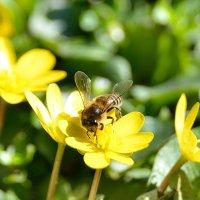 Пчёлка :: Игорь Халявка