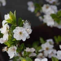 Алыча цветет :: Елена Миронова
