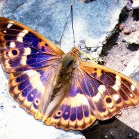 Бабочка Переливница тополевая (Apatura ilia) :: Генрих Сидоренко
