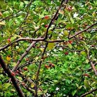 ...а яблочки-то ....райские :: Елена Михайловна