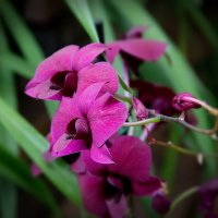 Орхидеи :: Эльмира Суворова