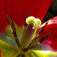 анатомия  тюльпана :: valeriy g_g