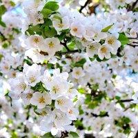 Яблони в цвету-какое чудо... :: Галина