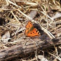 Третья бабочка за эту весну :: Елизавета Сноу