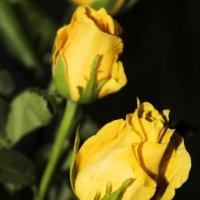 розы :: Елена Ефремова