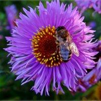 Пчёлка.. :: Антонина Гугаева