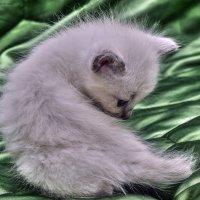 Мама,а это,что Хвость?-котёнок таец-из серии Кошки очарование мое! :: Shmual Hava Retro