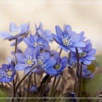 Про цветочки голубые...... :: Елена Kазак