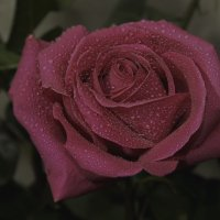 Просто роза 2 :: Андрей Качин