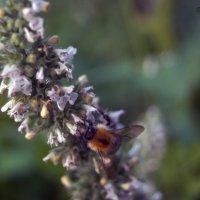 Пчелка :: Яна Михалёва
