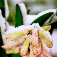 гиацинт в снежной шубе :: Светлана Скирта