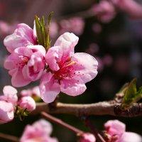 нектарин цветет... :: Ирина Рассветная