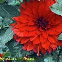 георгин :: Юрий Владимирович
