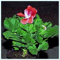 flower :: Александр Стаховский