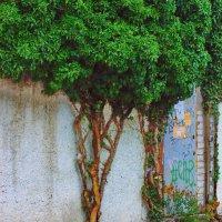 ... и на камнях и у стен растут деревья ... :: Александр Шурпаков