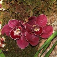 Симфония орхидей :: Виктория