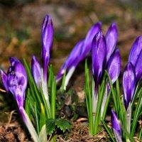 весенние цветы :: Андрей Куприянов