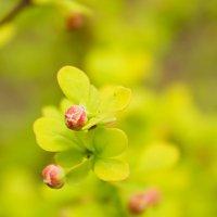 Весна..все распускается... :: Ирина Рассветная