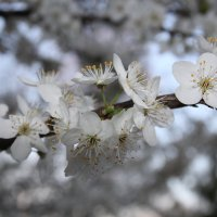цветения алыча ... :: Тарас Семигаленко