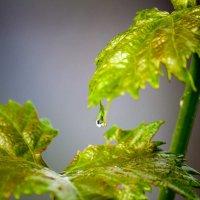 Виноградная слеза... :: Ксения Пугачева