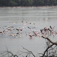 розовые фламинго :: maikl falkon