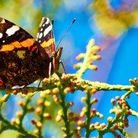 Бабочка :: Георгий Долаберидзе