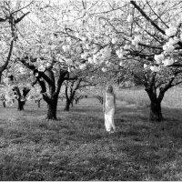 Вишнёвый сад :: Вера