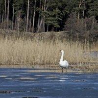 Лебедь-шипун весной (1) :: Сергей Садовничий