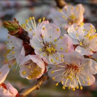 Цветение абрикоса :: Александр
