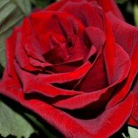 Роза :: Анастасия Высоцкая