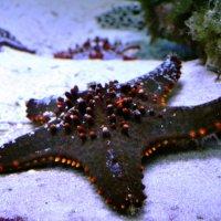 морская звезда на прогулке :: pavel belov