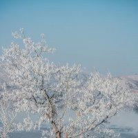 Одинокое, покрытое инеем дерево р.н Усть-Каменогорская ГЭС :: Андрей Акулинин