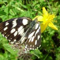 Бабочка Галатея (Melanagria galathea) :: Генрих Сидоренко