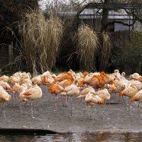 Фламинго :: Андрей Качин