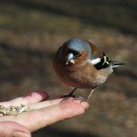 На Елагином острове и зяблик ест с руки :: Boris Antonov