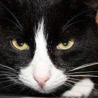 Кот  моих  знакомых :: Виктор