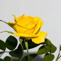 Роза :: Михаил Афанасьев