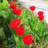 Тюльпаны... :: Юрий Владимирович