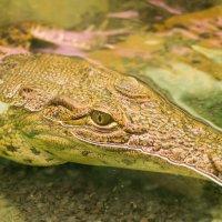 Крокодильчик :: Yuriy Beliy