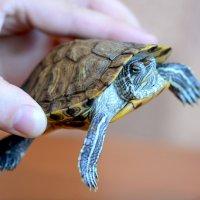 Красноухая черепаха - домашний питомец :: Елена Ахромеева