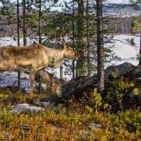 лесной олень :: Ирэна Мазакина